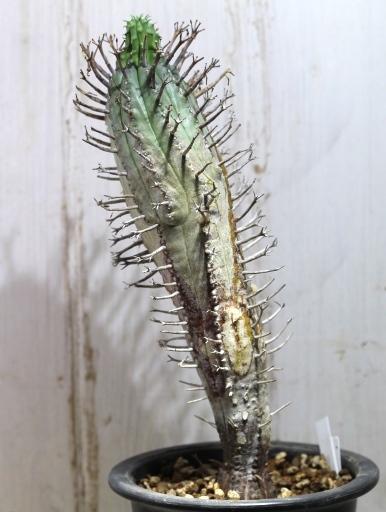 画像4: 塊根できてます! 枝が特徴的な湾曲してる個体! [多肉][トウダイグサ科][ユーフォルビア][球状タイプ] スーパーバリダ25cm♀ Euphorbia valida #308
