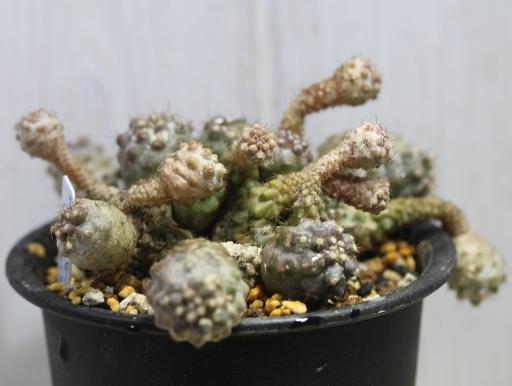 画像4: 寄生獣のミギーみたい?! 小さめですが仔だくさん!  [サボテン][南米球形]コピアポア・フミリス(公子丸) 群生 Copiapoa humilis その2