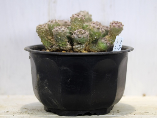 画像1: 小さめですが仔だくさん!  [サボテン][南米球形]コピアポア・フミリス(公子丸) 群生 Copiapoa humilis