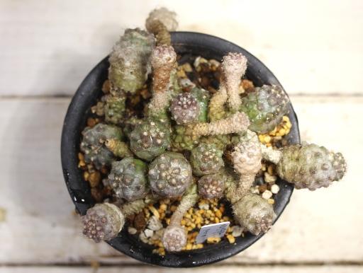 画像5: 寄生獣のミギーみたい?! 小さめですが仔だくさん!  [サボテン][南米球形]コピアポア・フミリス(公子丸) 群生 Copiapoa humilis その2