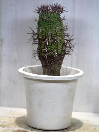 画像5: 刺ではなくて花径です! [多肉][トウダイグサ科][ユーフォルビア][球状タイプ] 群星冠  Euphorbia stellaespina  LL