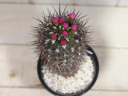 画像3: 3/14の時点で花芽付きです!  [サボテン][南米球形][エリオシケ/ネオポルテリア] 恋魔玉 /コイマセンシス Eriosyce(Neoporteria) coimasensis #300