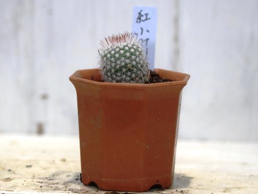 画像2: 密生した刺と美しい花が魅力の種類です!  [サボテン][花サボテン][パロディア/ノトカクタス] 紅小町 Parodia(Notocactus) scopa var. ruberrimus