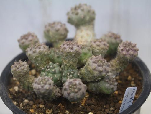 画像2: 小さめですが仔だくさん!  [サボテン][南米球形]コピアポア・フミリス(公子丸) 群生 Copiapoa humilis