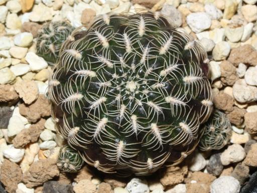 画像1: 花の綺麗なサボテンです!和名なし!  [サボテン][花サボテン][スルコレブチア] スルコレブチア・クリスパタ