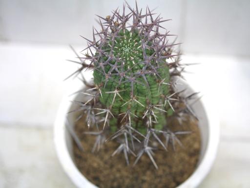 画像4: 刺ではなくて花径です! [多肉][トウダイグサ科][ユーフォルビア][球状タイプ] 群星冠  Euphorbia stellaespina  LL