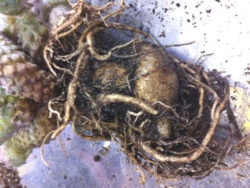画像5: 小さめですが仔だくさん!  [サボテン][南米球形]コピアポア・フミリス(公子丸) 群生 Copiapoa humilis