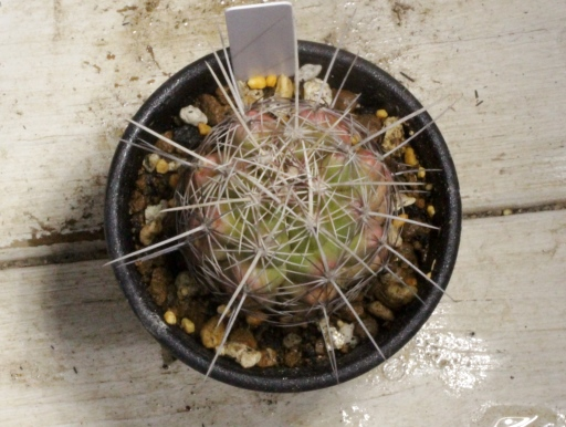 画像3: 刺が痛くない!  [サボテン][花サボテン][テロカクタス] 大統領 Thelocactus bicolor #076-01