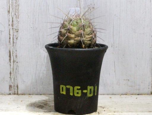 画像1: 刺が痛くない!  [サボテン][花サボテン][テロカクタス] 大統領 Thelocactus bicolor #076-01