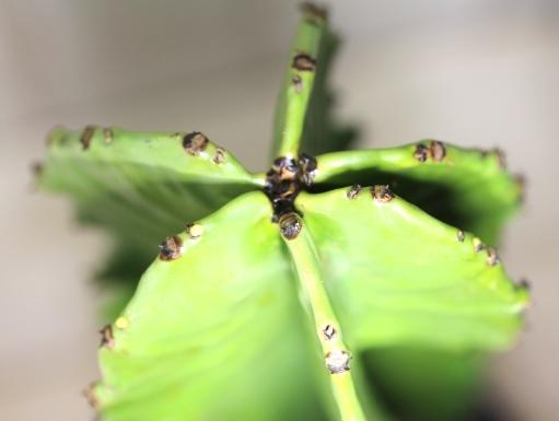 画像5: 大きめきました! [多肉][トウダイグサ科][ユーフォルビア][柱状タイプ] E.アマック/大戟閣(だいげきかく) Euphorbia ammak  #2086-01