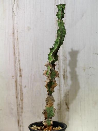 画像3: 模様がキレイ! [多肉][トウダイグサ科][ユーフォルビア][柱状タイプ] 春駒 Euphorbia pseudocactus #881-05
