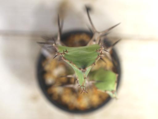 画像4: 木化したところが多いですが元気です! [多肉][トウダイグサ科][ユーフォルビア][柱状タイプ] オオマトイ Euphorbia triangularis (その2)