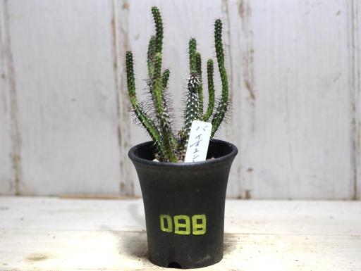 画像1: ソフトな刺です! [多肉][トウダイグサ科][ユーフォルビア][柱状タイプ] E.バイオエンシス Euphorbia baioensis #088