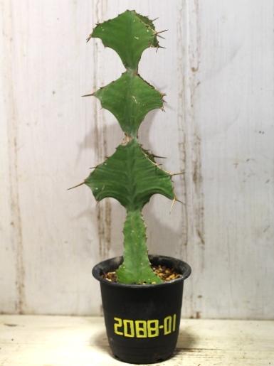 画像1:  トゲトゲが強烈です! [多肉][トウダイグサ科][ユーフォルビア][柱状タイプ] オオマトイ Euphorbia triangularis #2088-01