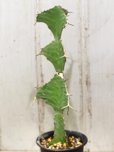 画像4:  トゲトゲが強烈です! [多肉][トウダイグサ科][ユーフォルビア][柱状タイプ] オオマトイ Euphorbia triangularis #2088-01