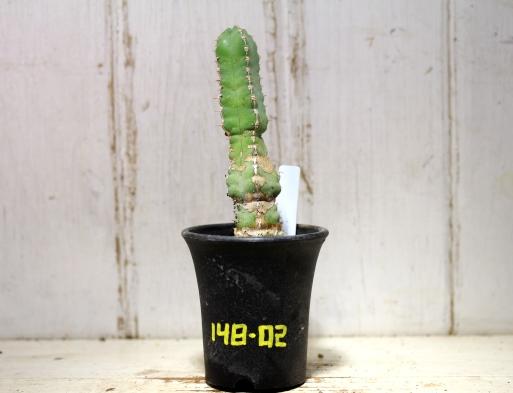 画像1: 四角い柱状の幹が群生します! [多肉][トウダイグサ科][ユーフォルビア][柱状タイプ] マカレンシス Euphorbia makallensis #148-02