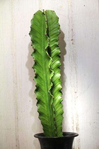 画像4: 大きめきました! [多肉][トウダイグサ科][ユーフォルビア][柱状タイプ] E.アマック/大戟閣(だいげきかく) Euphorbia ammak  #2086-01