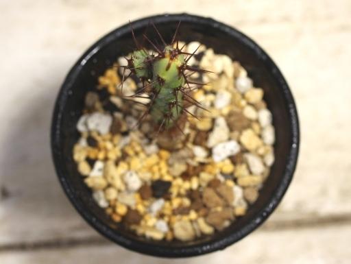 画像3: 小さめでお買い得! [多肉][トウダイグサ科][ユーフォルビア][柱状タイプ] アエルギノーサ Euphorbia aeruginosa #047-02