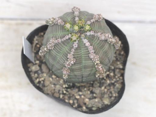 画像3: その名もベースボールプランツ!しかも子吹き!  [多肉][トウダイグサ科][ユーフォルビア][球状タイプ] 子吹きオベサ Euphorbia obesa f.prolifera #010