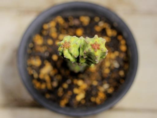 画像3: 学名不明です!分かり次第更新します! [多肉][トウダイグサ科][ユーフォルビア][柱状タイプ] ユーフォルビアsp. リトアニア? 小 Euphorbia ssp.  #106-03
