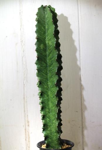 画像3: 大きめきました! [多肉][トウダイグサ科][ユーフォルビア][柱状タイプ] E.アマック/大戟閣(だいげきかく) Euphorbia ammak  #2086-03