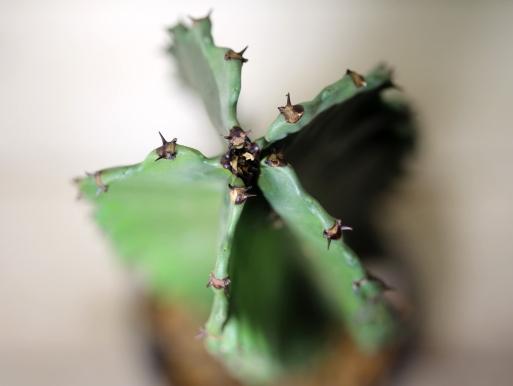 画像5: 大きめきました! [多肉][トウダイグサ科][ユーフォルビア][柱状タイプ] E.アマック/大戟閣(だいげきかく) Euphorbia ammak  #2086-03