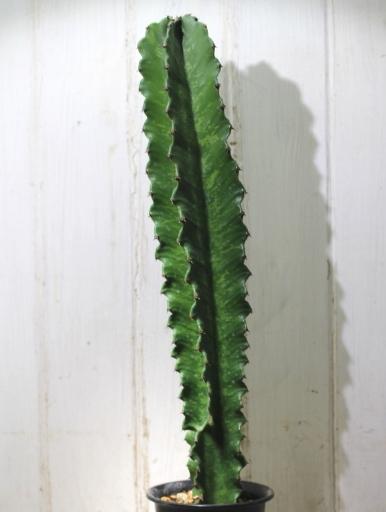 画像2: 大きめきました! [多肉][トウダイグサ科][ユーフォルビア][柱状タイプ] E.アマック/大戟閣(だいげきかく) Euphorbia ammak  #2086-03