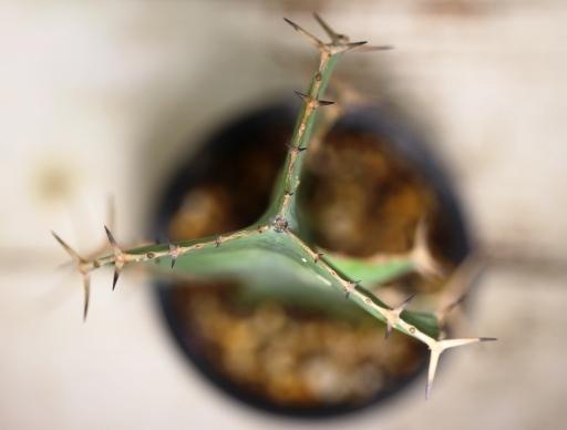 画像5:  トゲトゲが強烈です! [多肉][トウダイグサ科][ユーフォルビア][柱状タイプ] オオマトイ Euphorbia triangularis #2088-01