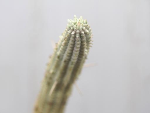 画像2: 長いの来ました! [多肉][トウダイグサ科][ユーフォルビア][柱状タイプ] 白樺キリン L #001  Euphorbia mammillaris cv.'Variegata'