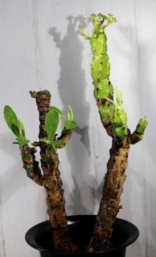 画像2: これもつるっとモコモコした感じです! [多肉][トウダイグサ科][ユーフォルビア][柱状タイプ] キリン冠 Euphorbia grandicornis