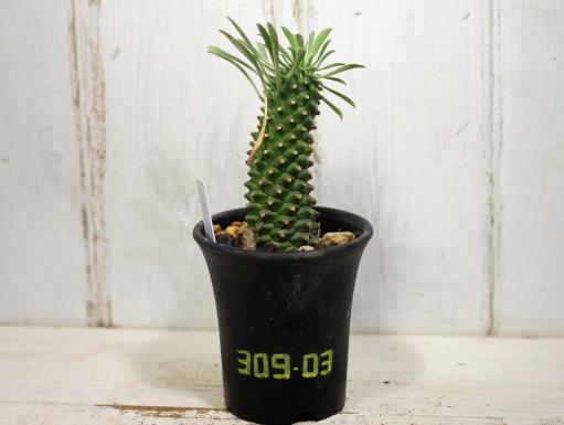 画像1: 南国ムード漂います! [多肉][トウダイグサ科][ユーフォルビア][花キリンタイプ] 魁魔玉 Euphorbia × 'KAIMAGYOKU' #309-03