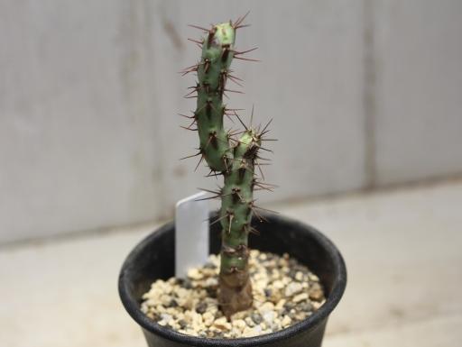 画像2: 小さめでお買い得! [多肉][トウダイグサ科][ユーフォルビア][柱状タイプ] アエルギノーサ Euphorbia aeruginosa #047-01