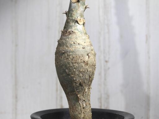 画像1: キュ!ボン!キュ!って感じです! [多肉][トウダイグサ科][ヤトロファ] サンゴ油桐 Jatropha podagrica #170