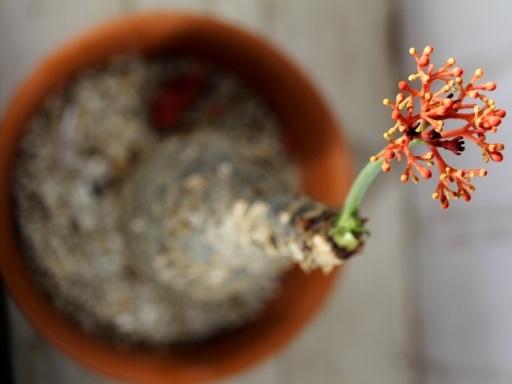 画像3: キュ!ボン!キュ!って感じです! [多肉][トウダイグサ科][ヤトロファ] サンゴ油桐 Jatropha podagrica #134