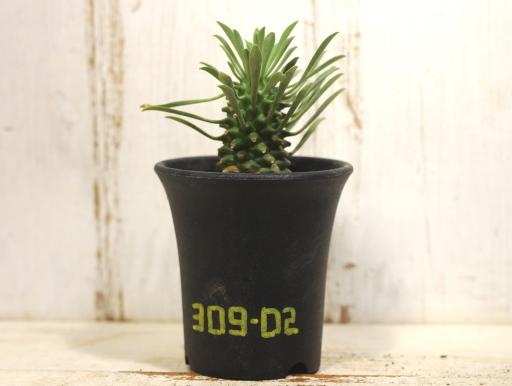 画像1: 南国ムード漂います! [多肉][トウダイグサ科][ユーフォルビア][花キリンタイプ] 魁魔玉 Euphorbia × 'KAIMAGYOKU' #309-02