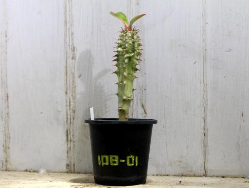 画像1: 葉が大きく立派です! [多肉][トウダイグサ科][ユーフォルビア][花キリンタイプ] 噴火竜 ヴィグエリー Mサイズ Euphorbia viguieri #108-01