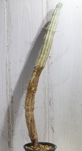 画像3: 長いの来ました! [多肉][トウダイグサ科][ユーフォルビア][柱状タイプ] 白樺キリン L #052-03  Euphorbia mammillaris cv.'Variegata'
