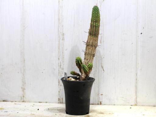 画像1: カッコいいのが来ました! [多肉][トウダイグサ科][ユーフォルビア][柱状タイプ] 鱗宝(亀甲キリン) #021  Euphorbia mammillaris