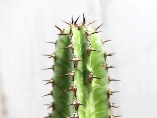 画像1: ユーフォルビアの接ぎ物に最適!探すと意外にありません! [多肉][トウダイグサ科][ユーフォルビア][柱状タイプ] カナリーエンシス  墨キリン Euphorbia canariensis  #107