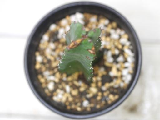 画像3: とっても丈夫です! [多肉][トウダイグサ科][ユーフォルビア][柱状タイプ] 白角キリン Euphorbia resinifera