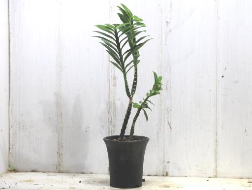 画像1: ユーフォルビアの近縁種! [多肉][トウダイグサ科][ペディランサス] P・ティティマロイデス・ナナ・コンパクタ Pedilanthus tithymaloides nana compacta [その2]