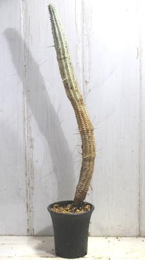 画像1: 長いの来ました! [多肉][トウダイグサ科][ユーフォルビア][柱状タイプ] 白樺キリン L #052-03  Euphorbia mammillaris cv.'Variegata'