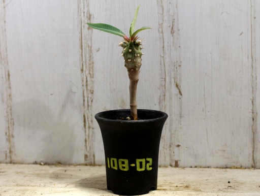 画像1: 葉が大きく立派です! [多肉][トウダイグサ科][ユーフォルビア][花キリンタイプ] 噴火竜 ヴィグエリー  Euphorbia viguieri #108-02
