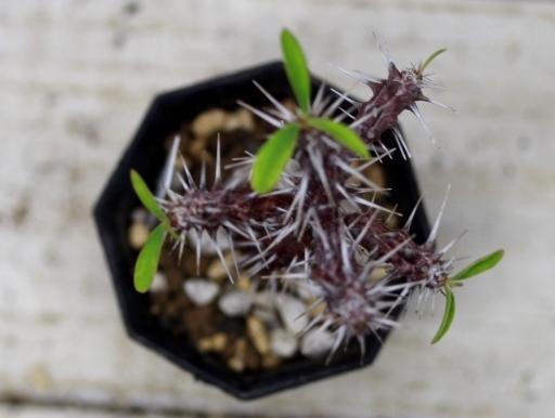 画像3: 丈夫です! [多肉][トウダイグサ科][ユーフォルビア][花キリンタイプ] 花キリン Euphorbia milii