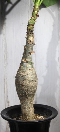 画像3: キュ!ボン!キュ!って感じです! [多肉][トウダイグサ科][ヤトロファ] サンゴ油桐 Jatropha podagrica #170