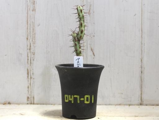 画像1: 小さめでお買い得! [多肉][トウダイグサ科][ユーフォルビア][柱状タイプ] アエルギノーサ Euphorbia aeruginosa #047-01