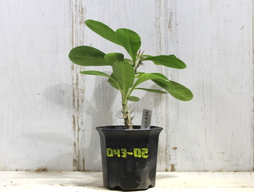 画像1: 丈夫です! [多肉][トウダイグサ科][ユーフォルビア][花キリンタイプ] 花キリン Euphorbia milii #043-02