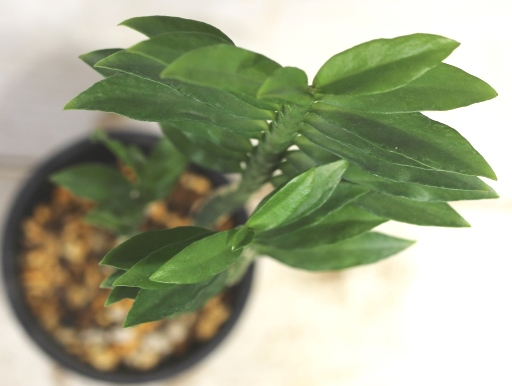 画像3: ユーフォルビアの近縁種! [多肉][トウダイグサ科][ペディランサス] P・ティティマロイデス・ナナ・コンパクタ Pedilanthus tithymaloides nana compacta [その3]