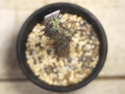 画像3: 小さめでお買い得! [多肉][トウダイグサ科][ユーフォルビア][柱状タイプ] アエルギノーサ Euphorbia aeruginosa #047-01
