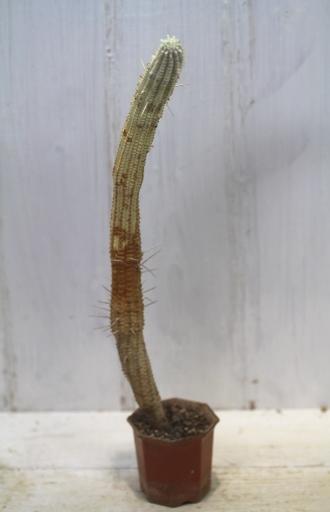 画像1: 長いの来ました! [多肉][トウダイグサ科][ユーフォルビア][柱状タイプ] 白樺キリン L #001  Euphorbia mammillaris cv.'Variegata'
